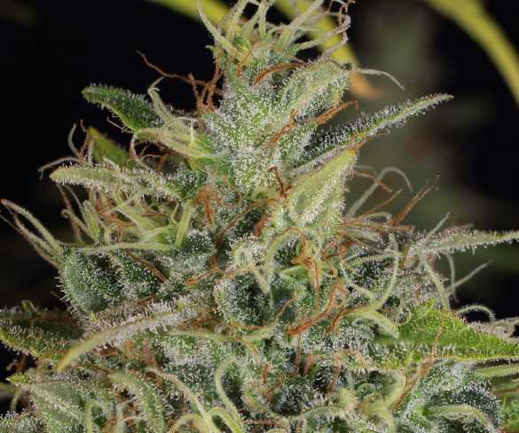 The autoflowering cannabis seeds do not need day/night maintenance
