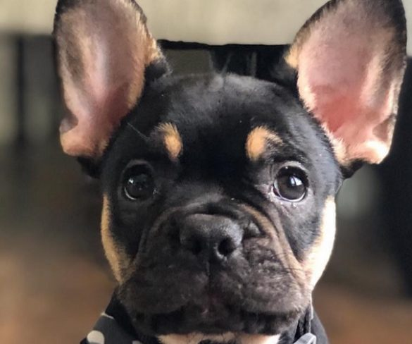 Symptoms Of Hypothermia In French Bulldogs